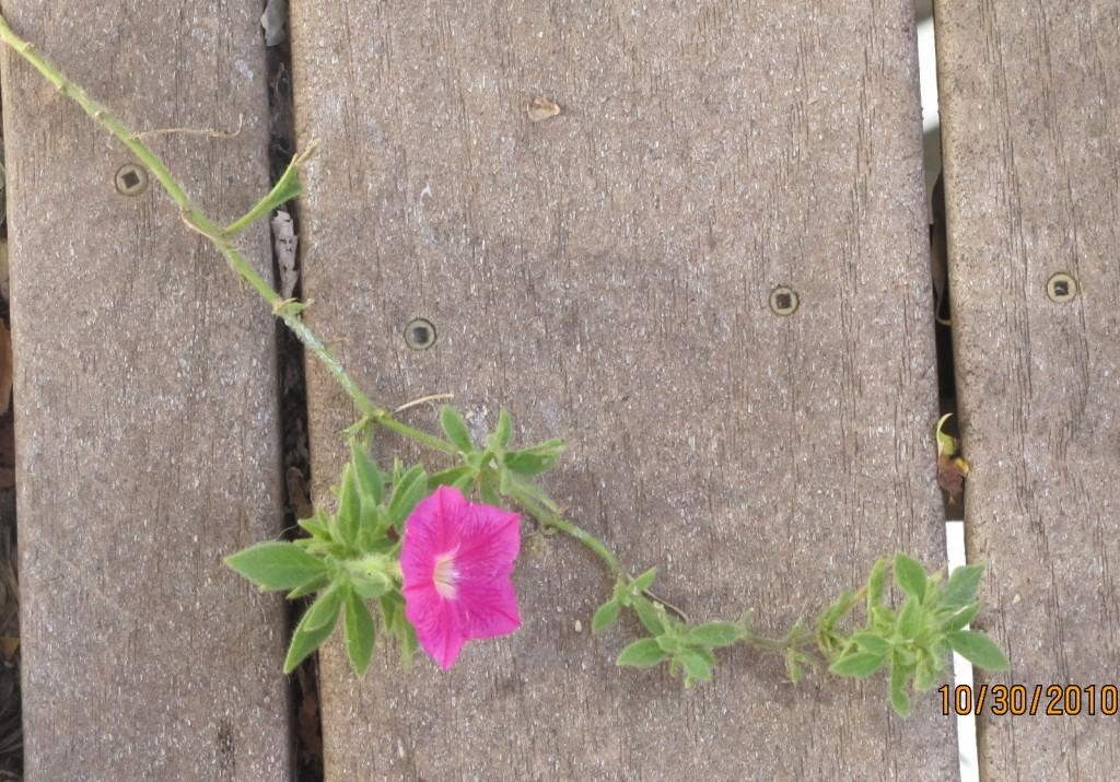 Deck Petunia